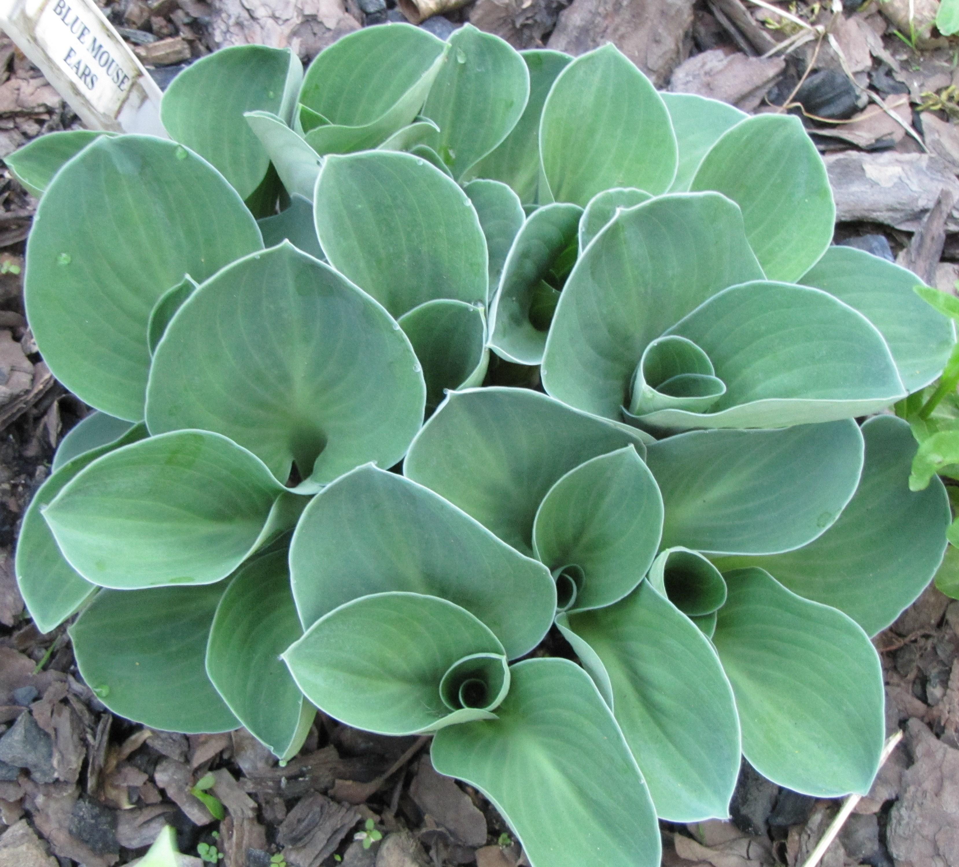 Blue Mouse Ears Brookfield Plants