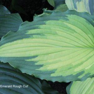 H. 'Emerald Ruff Cut'